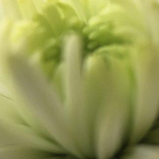 chrysanthemum 3 print