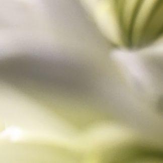 chrysanthemum 5 print