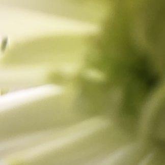 chrysanthemum 6 print
